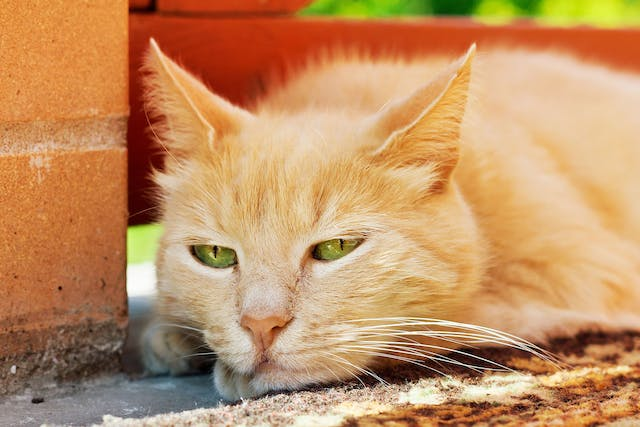 Blood Thickening in Cats - Symptoms, Causes, Diagnosis, Treatment, Recovery, Management, Cost