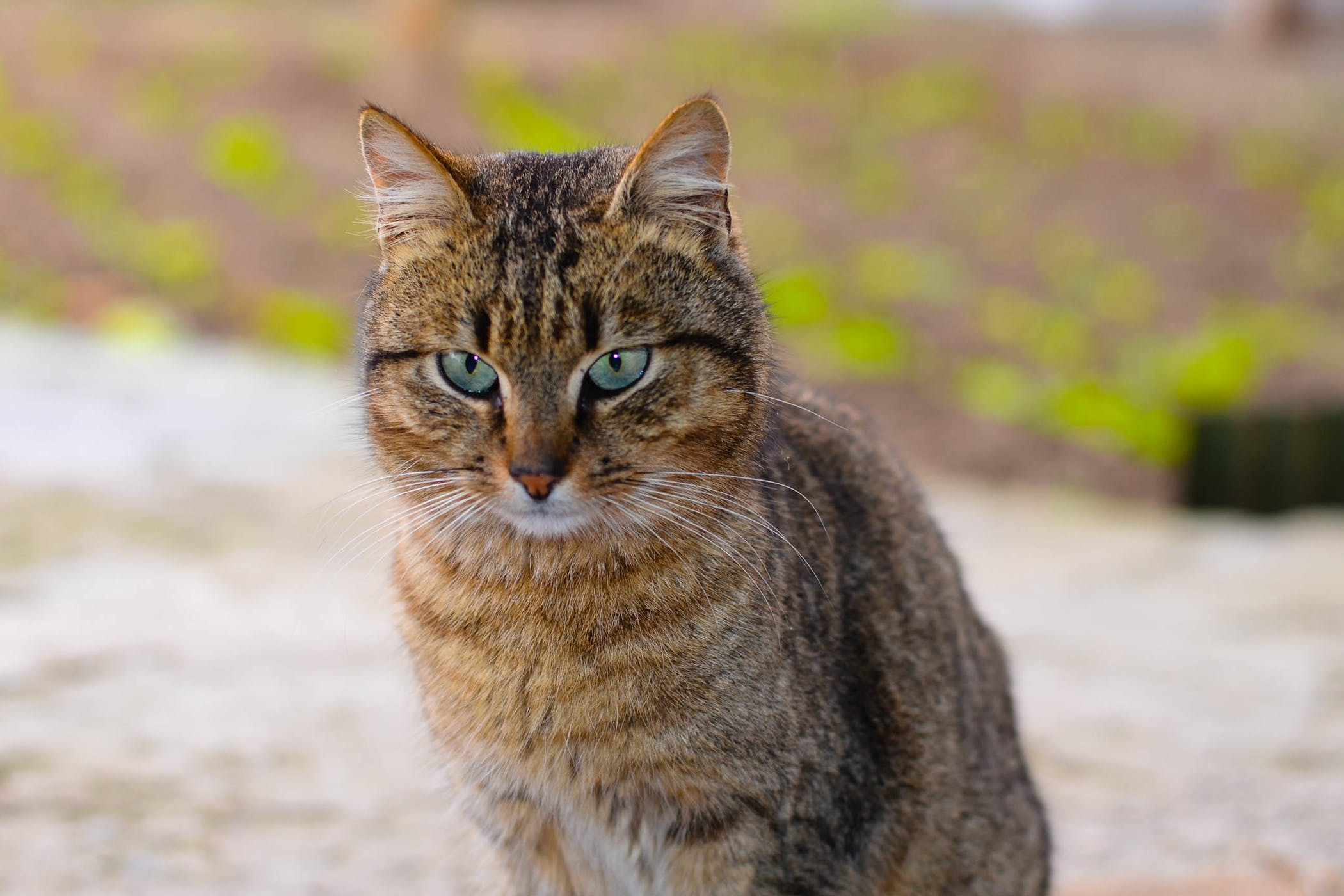 Buffalo Allergy in Cats Symptoms Causes Diagnosis Treatment