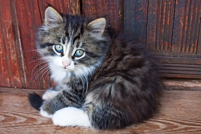 Blue Skin And Mucous Membranes in Cats - Symptoms, Causes, Diagnosis, Treatment, Recovery, Management, Cost