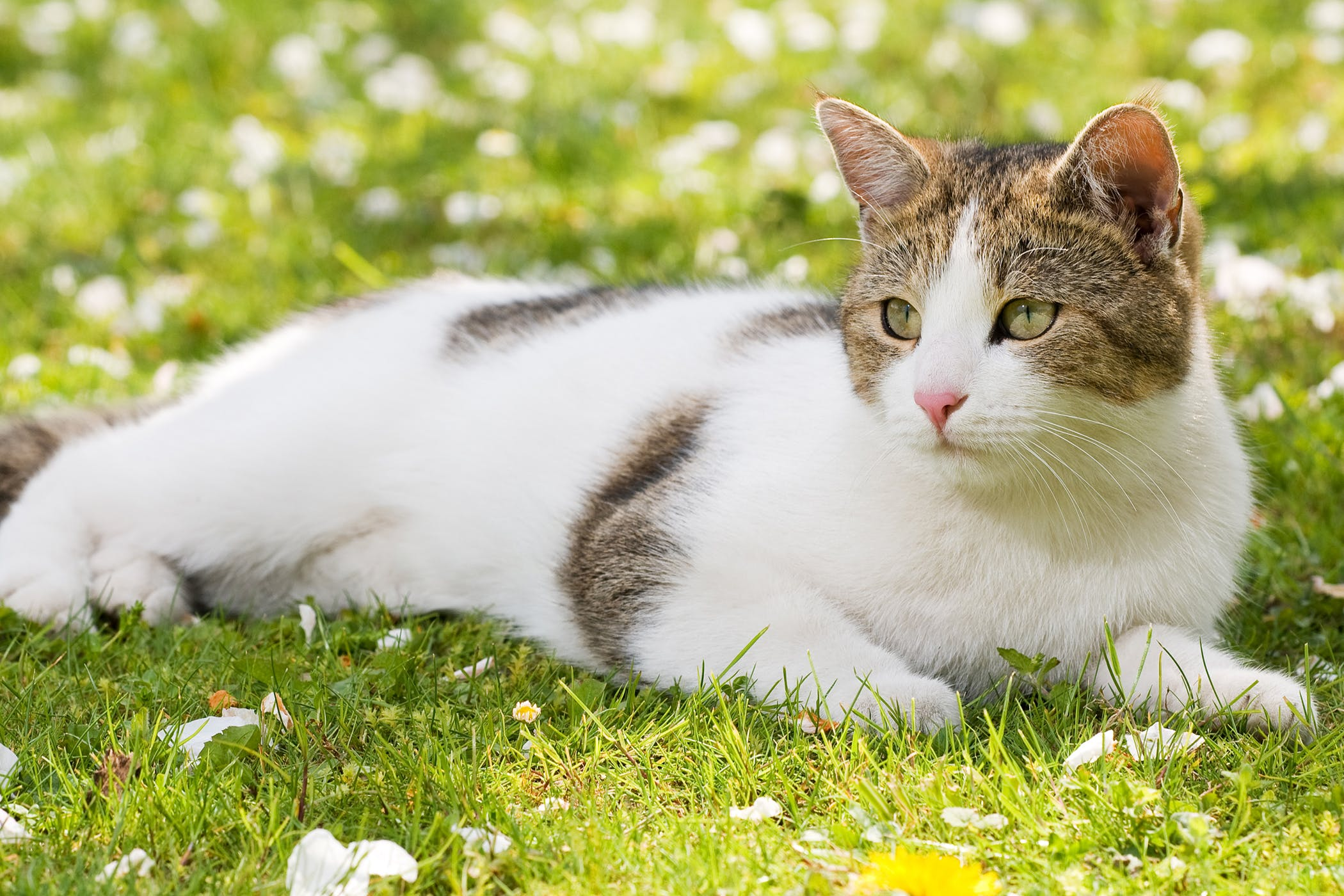 hepatic lipidosis in cats