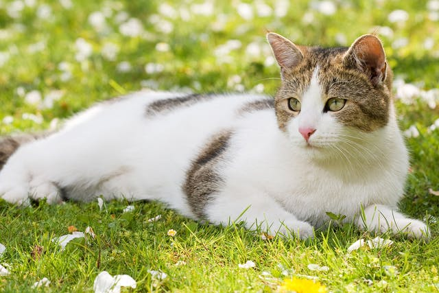 Blue Wilderness Allergy in Cats - Symptoms, Causes, Diagnosis, Treatment, Recovery, Management, Cost