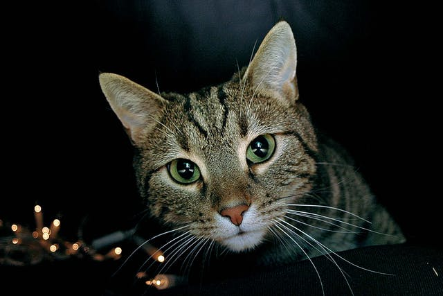 Bone Deformity and Dwarfism in Cats - Symptoms, Causes, Diagnosis, Treatment, Recovery, Management, Cost