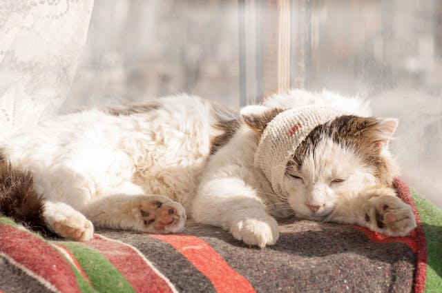 Bone Infection in Cats - Symptoms, Causes, Diagnosis, Treatment, Recovery, Management, Cost