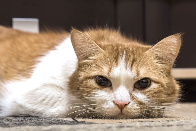 Bone Overgrowth in Cats - Symptoms, Causes, Diagnosis, Treatment, Recovery, Management, Cost
