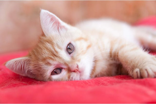 Bone Tumors in Cats - Symptoms, Causes, Diagnosis, Treatment, Recovery, Management, Cost