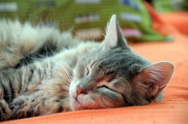 Brain Cell Degeneration in Cats - Symptoms, Causes, Diagnosis, Treatment, Recovery, Management, Cost
