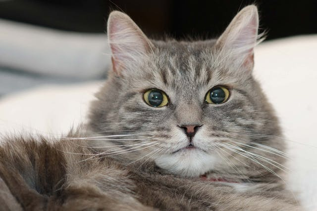 Brain Disorders in Cats - Symptoms, Causes, Diagnosis, Treatment, Recovery, Management, Cost
