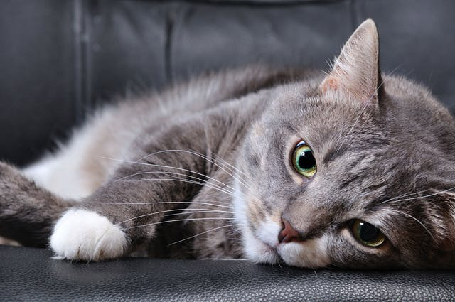Brain Injury in Cats - Symptoms, Causes, Diagnosis, Treatment, Recovery, Management, Cost
