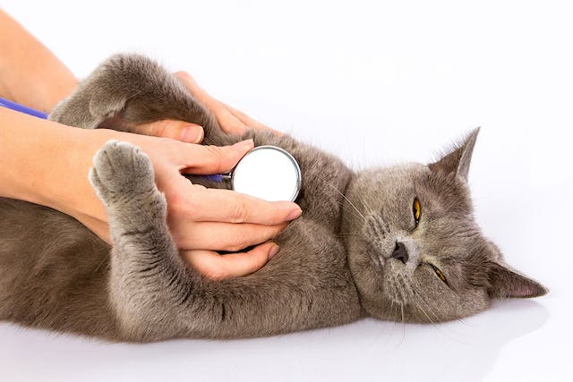 Breathing Difficulties in Cats - Symptoms, Causes, Diagnosis, Treatment, Recovery, Management, Cost