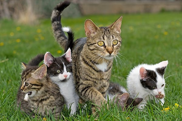 Breeding Timing in Cats - Symptoms, Causes, Diagnosis, Treatment, Recovery, Management, Cost