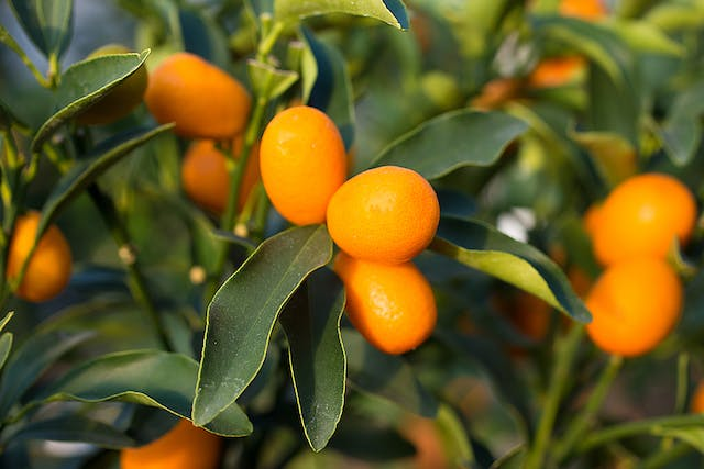 Calamondin Orange Poisoning in Cats - Symptoms, Causes, Diagnosis, Treatment, Recovery, Management, Cost