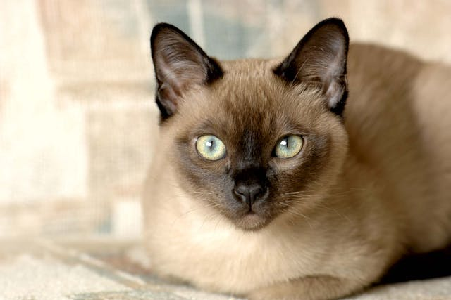 Calcium Buildup in Lungs in Cats - Symptoms, Causes, Diagnosis, Treatment, Recovery, Management, Cost
