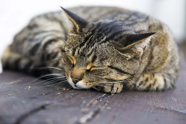 Calcium Deposits in the Urinary Tract in Cats - Symptoms, Causes, Diagnosis, Treatment, Recovery, Management, Cost
