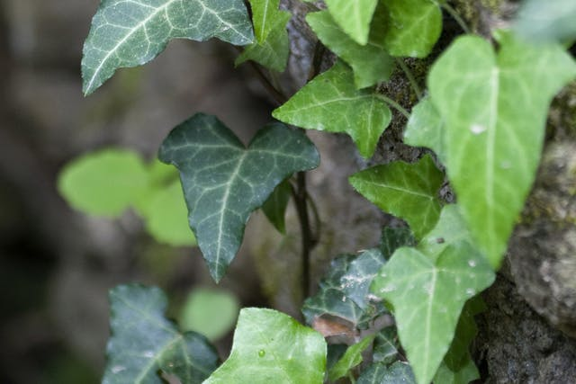 California Ivy Poisoning in Cats - Symptoms, Causes, Diagnosis, Treatment, Recovery, Management, Cost