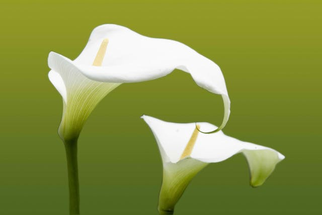 Calla Poisoning in Cats - Symptoms, Causes, Diagnosis, Treatment, Recovery, Management, Cost
