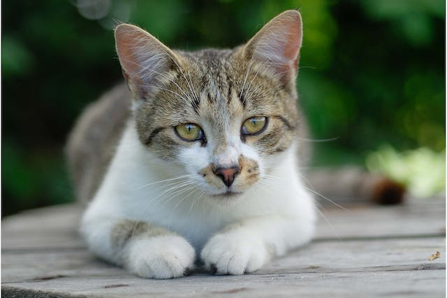 Cancer of the Uterus in Cats - Symptoms, Causes, Diagnosis, Treatment, Recovery, Management, Cost