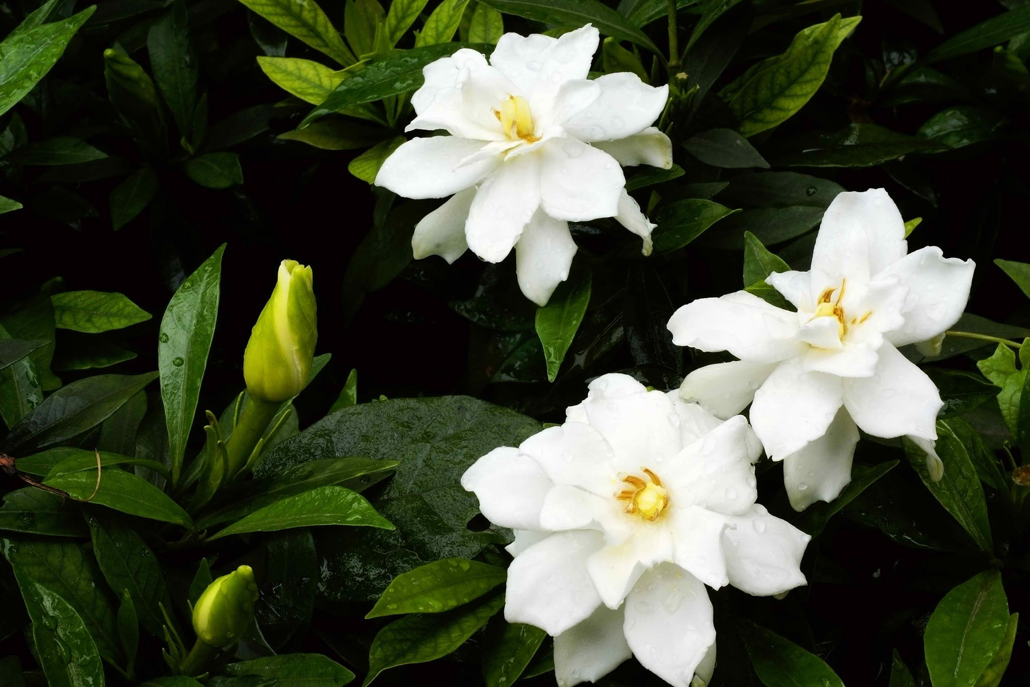 Cape Jasmine Poisoning In Cats Symptoms Causes Diagnosis