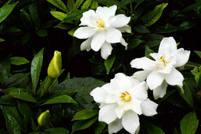 Cape Jasmine Poisoning in Cats - Symptoms, Causes, Diagnosis, Treatment, Recovery, Management, Cost