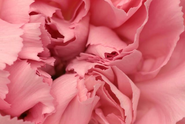 Carnation Poisoning in Cats - Symptoms, Causes, Diagnosis, Treatment, Recovery, Management, Cost