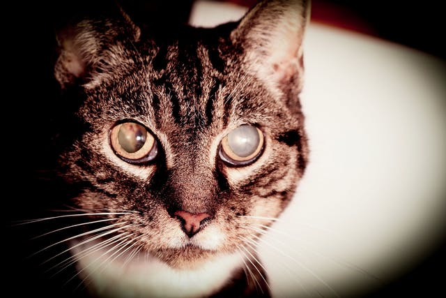 Cataracts in Cats - Symptoms, Causes, Diagnosis, Treatment, Recovery, Management, Cost