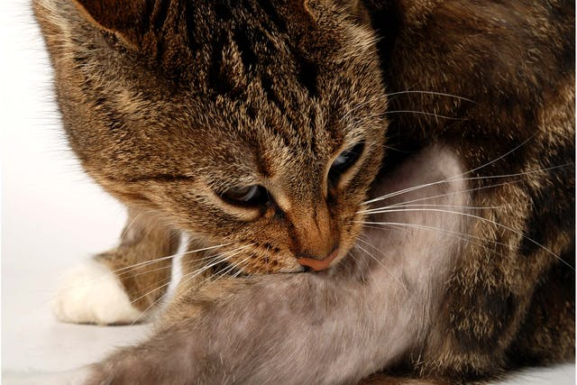 Cat Scratch Fever in Cats - Symptoms, Causes, Diagnosis, Treatment, Recovery, Management, Cost