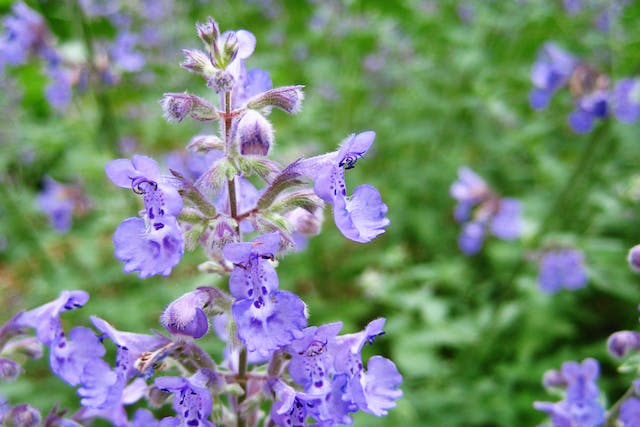 Catnip Poisoning in Cats - Symptoms, Causes, Diagnosis, Treatment, Recovery, Management, Cost
