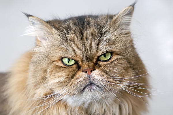 Cerebral Edema in Cats - Symptoms, Causes, Diagnosis, Treatment, Recovery, Management, Cost