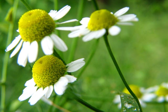 Chamomile Poisoning in Cats - Symptoms, Causes, Diagnosis, Treatment, Recovery, Management, Cost