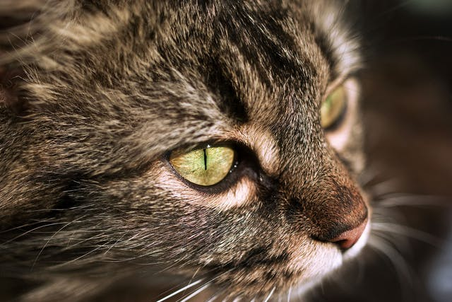 Chediak-Higashi Syndrome in Cats - Symptoms, Causes, Diagnosis, Treatment, Recovery, Management, Cost