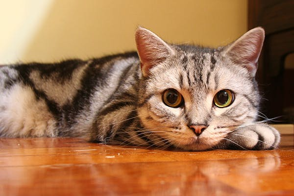 Chemical Imbalance of Urine in Cats - Symptoms, Causes, Diagnosis, Treatment, Recovery, Management, Cost