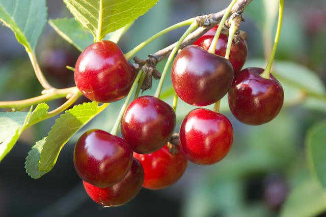 Cherry Poisoning in Cats - Symptoms, Causes, Diagnosis, Treatment, Recovery, Management, Cost