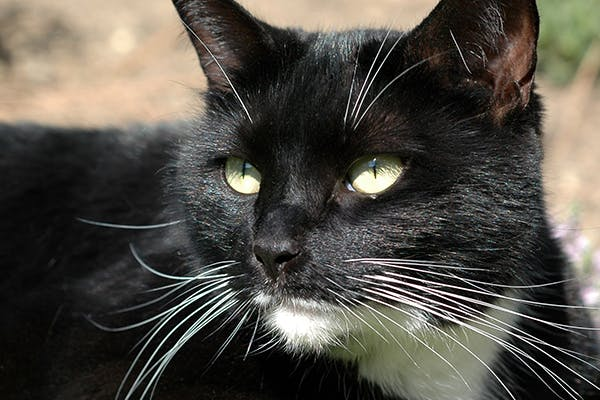 Chest Infection in Cats