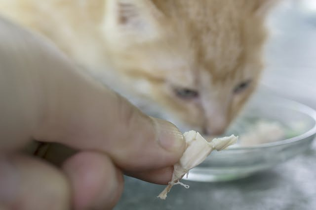 Chicken Allergy in Cats - Symptoms, Causes, Diagnosis, Treatment, Recovery, Management, Cost