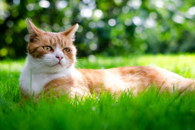 Cholecystotomy in Cats - Conditions Treated, Procedure, Efficacy, Recovery, Cost, Considerations, Prevention