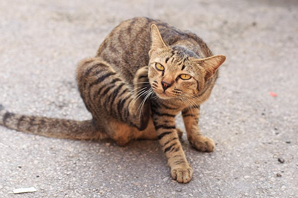 Chylothorax in Cats - Symptoms, Causes, Diagnosis, Treatment, Recovery, Management, Cost