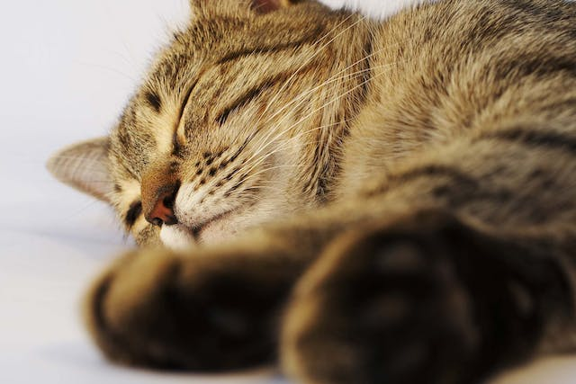 Claw and Nail Disorders in Cats - Symptoms, Causes, Diagnosis, Treatment, Recovery, Management, Cost