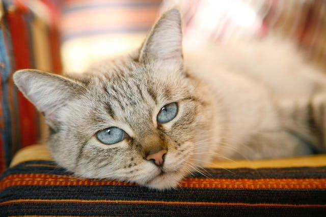 Cleft Palate in Cats - Symptoms, Causes, Diagnosis, Treatment, Recovery, Management, Cost