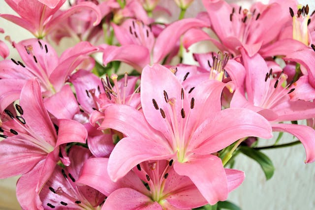 Climbing Lily Poisoning in Cats - Symptoms, Causes, Diagnosis, Treatment, Recovery, Management, Cost