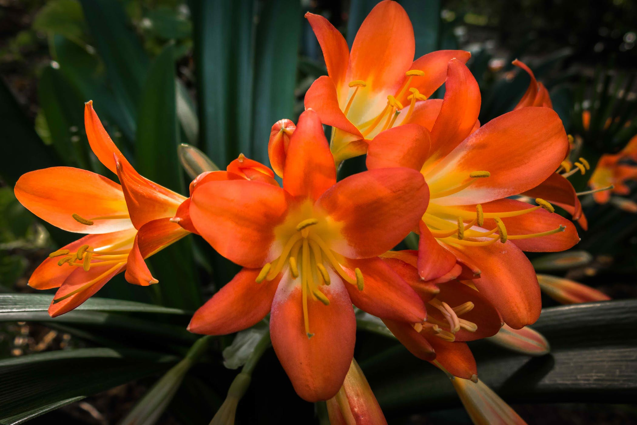 Clivia Lily Poisoning In Cats Symptoms Causes Diagnosis