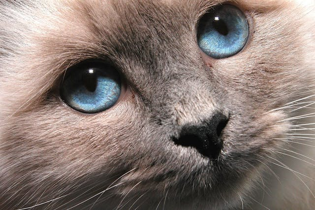 Clostridium perfringens in Cats - Symptoms, Causes, Diagnosis, Treatment, Recovery, Management, Cost