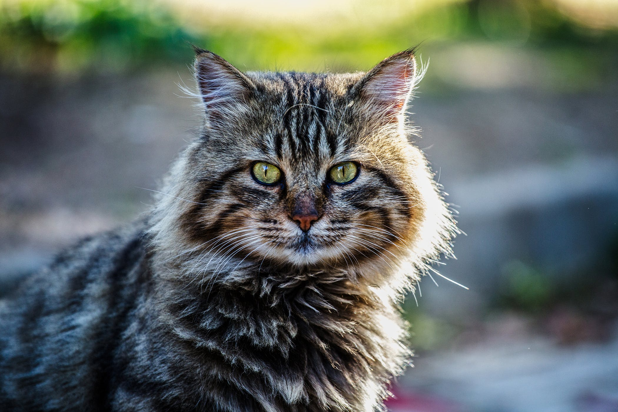 Closure of Medial Canthus in Cats - Procedure, Efficacy, Recovery ...