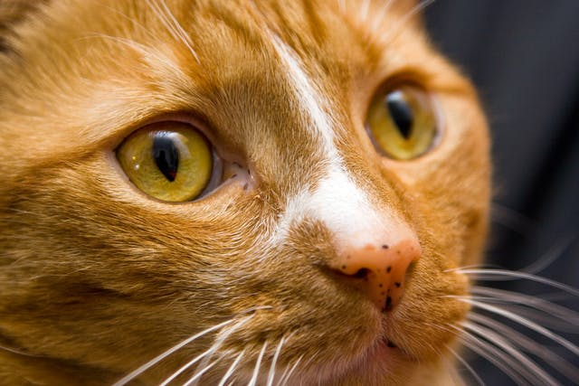 Closure of Soft Palate Defect in Cats - Conditions Treated, Procedure, Efficacy, Recovery, Cost, Considerations, Prevention