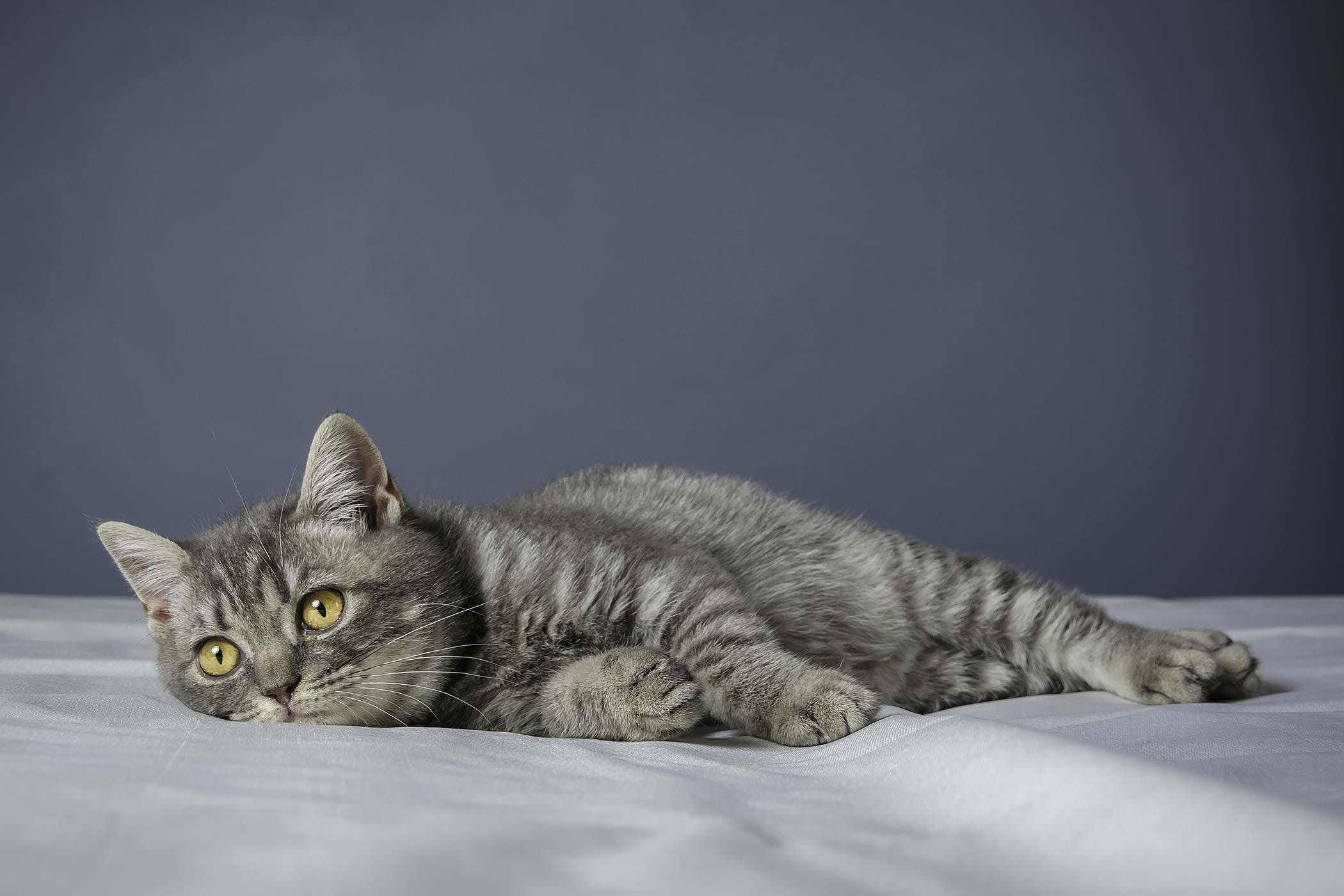 Toxoplasmosis in cats. Symptoms, treatment, prevention 75
