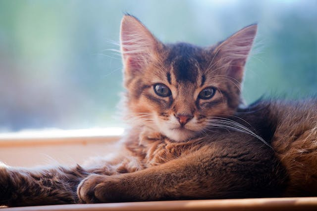 Clotting Disorders of the Platelets in Cats - Symptoms, Causes, Diagnosis, Treatment, Recovery, Management, Cost