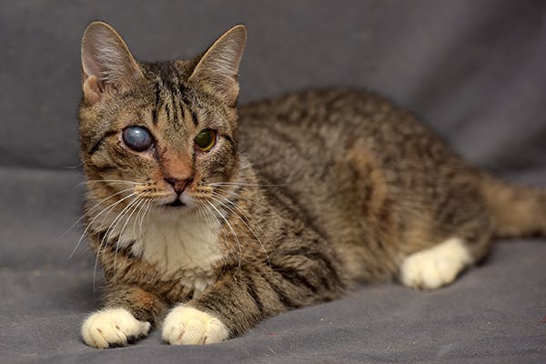 Cloudy Eye in Cats - Signs, Causes, Diagnosis, Treatment, Recovery, Management, Cost