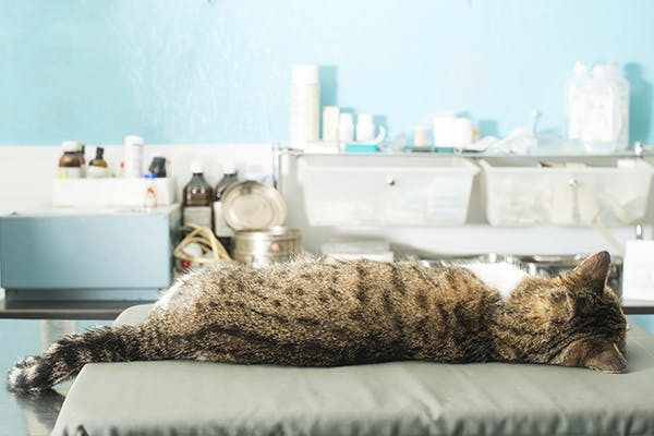 Coccidioidomycosis in Cats