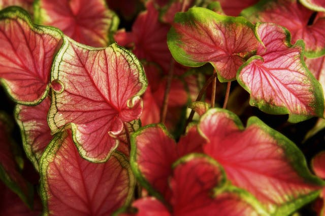 Coleus Poisoning in Cats - Symptoms, Causes, Diagnosis, Treatment, Recovery, Management, Cost