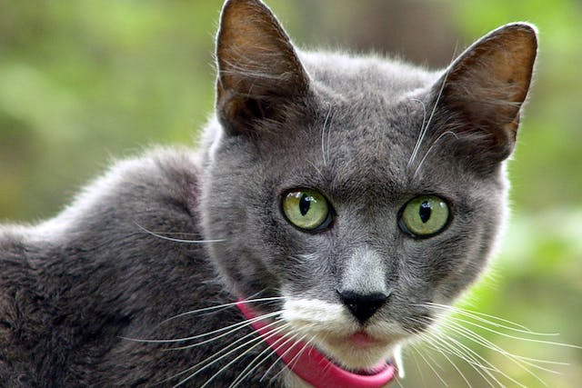 Collar Allergy in Cats - Symptoms, Causes, Diagnosis, Treatment, Recovery, Management, Cost