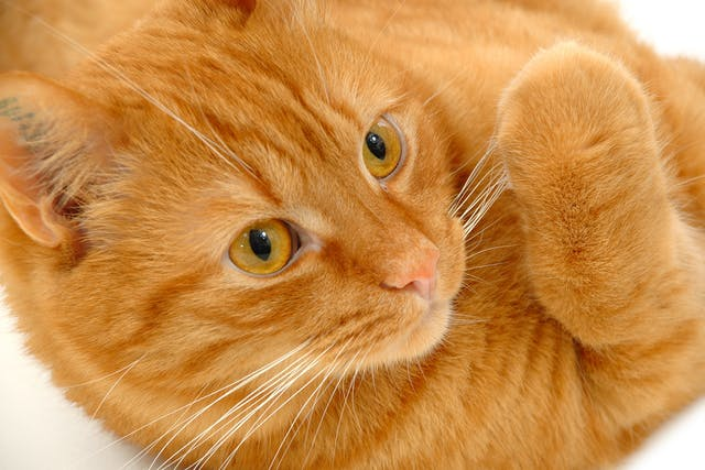 Colostomy in Cats - Conditions Treated, Procedure, Efficacy, Recovery, Cost, Considerations, Prevention