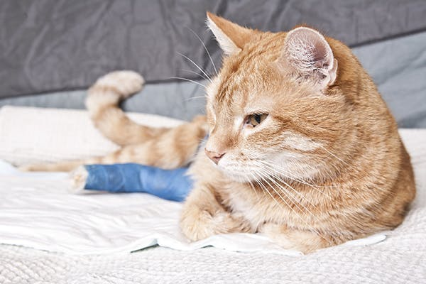 Comminuted Fractures in Cats - Symptoms, Causes, Diagnosis, Treatment, Recovery, Management, Cost